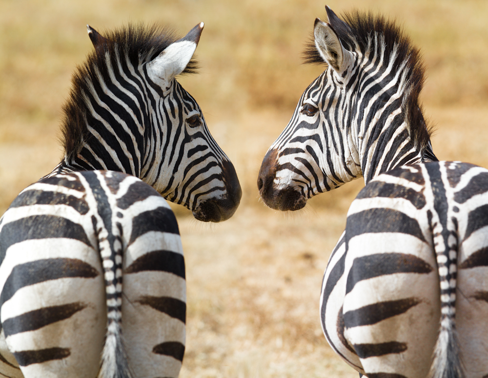 zebras_looking_each_other